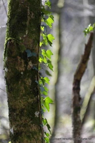 Premières feuilles