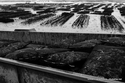 Cancale. Cultures des huîtres.